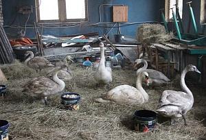 Лебедей из временного приюта в Балтийске выпустят на волю в марте
