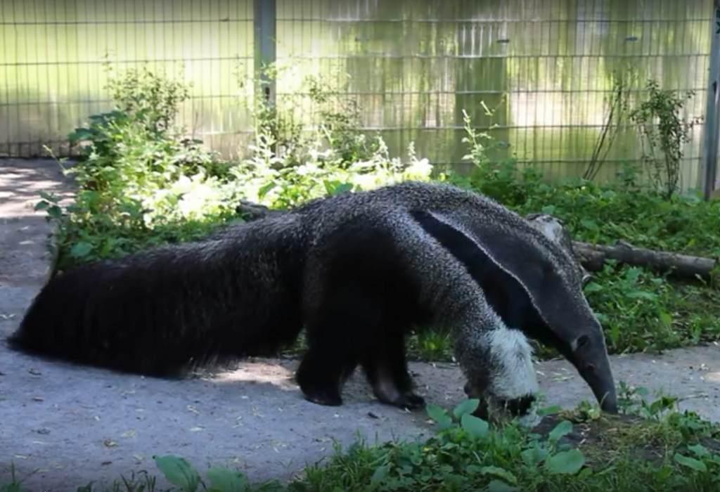 Калининградский зоопарк показал, как муравьед принимает ванну (видео)