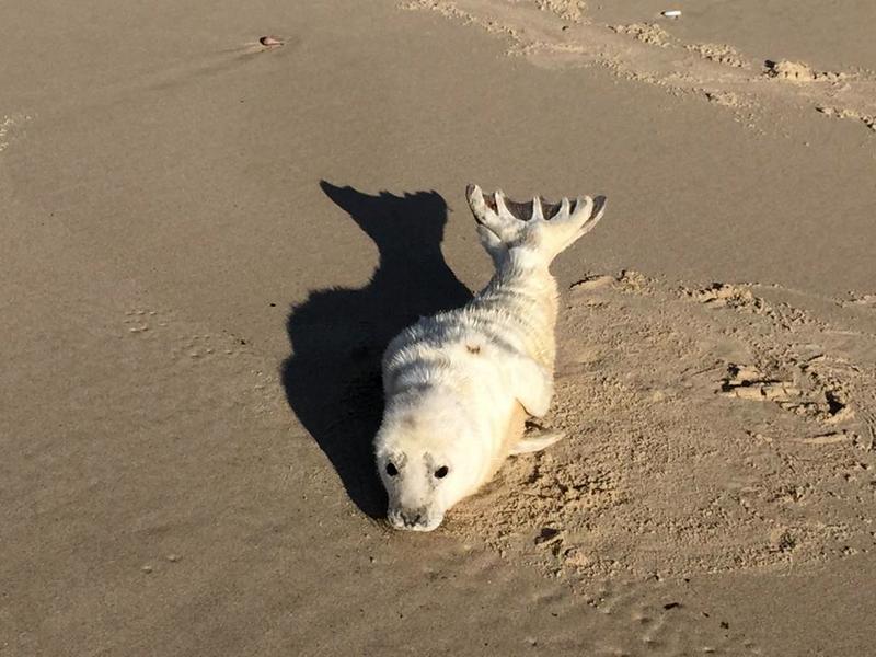 К востоку от Зеленоградска сфотографировали белого тюленя