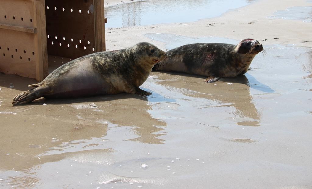 Калининградский зоопарк выпустил тюленей в Балтийское море (видео)