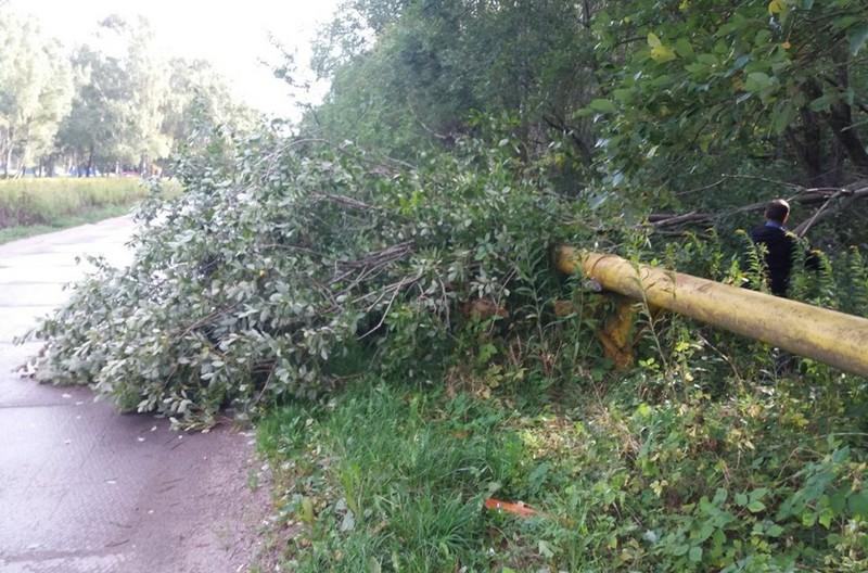 Штормовой ветер повалил деревья в Светлогорске (фото)