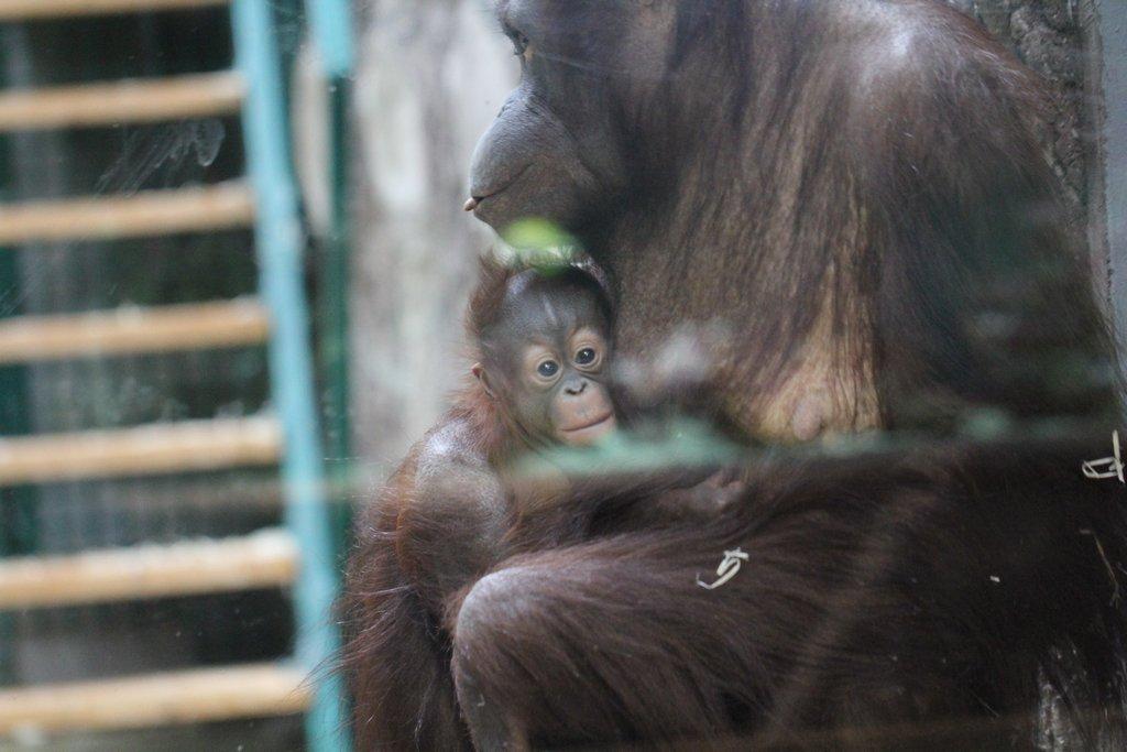 Трехмесячному орангутангу из зоопарка в Калининграде дали норвежское имя