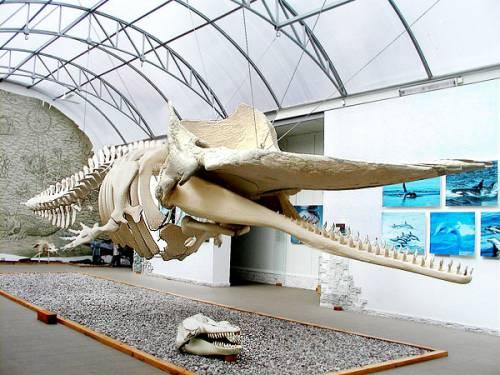 Скелет кашалота отправляется на ремонт